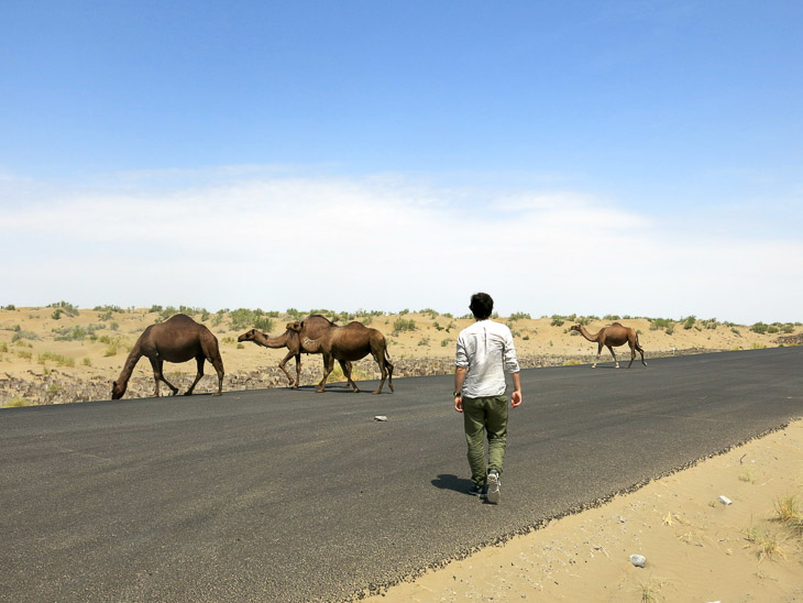 desert camels Turkmenistan