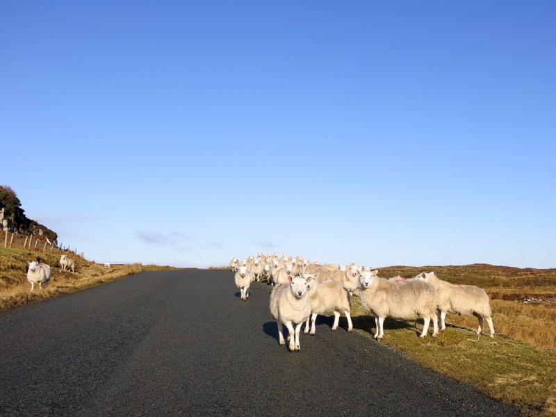 Isle Of Skye Scotland Highlands Travel Sheep