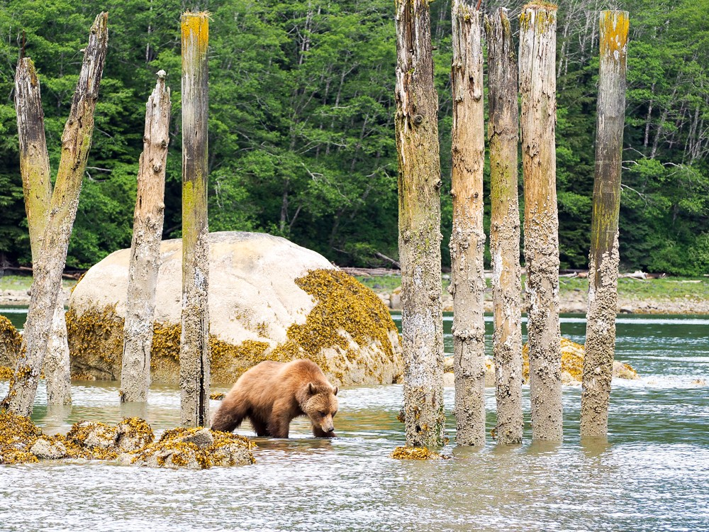 The Grizzly Bears Of Canada's Knight Inlet