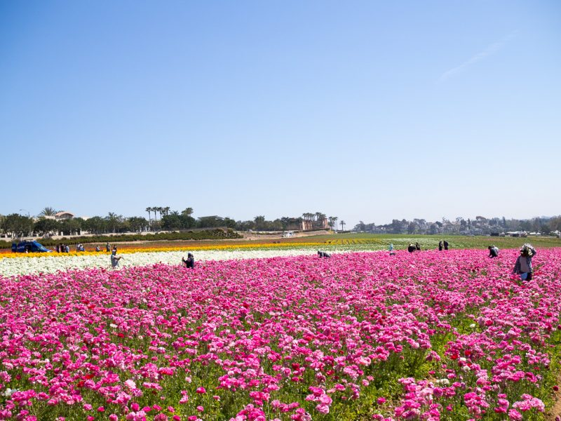 Carlsbad Flower Fields San Diego California USA