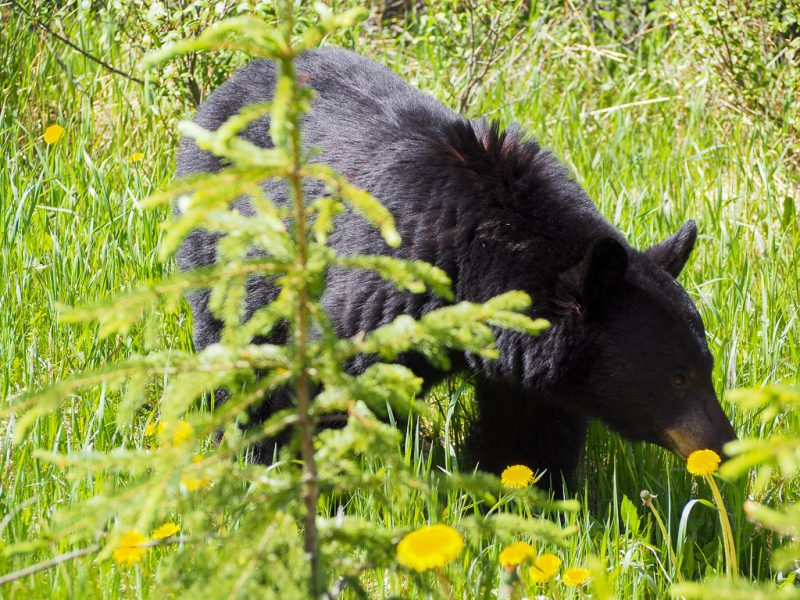 Canada Rocky Mountains Canadian Rockies Black Bear