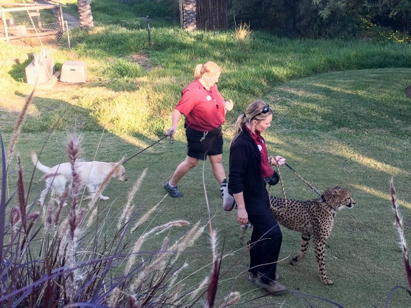 Travel San Diego California USA Safari Park Cheetah Run