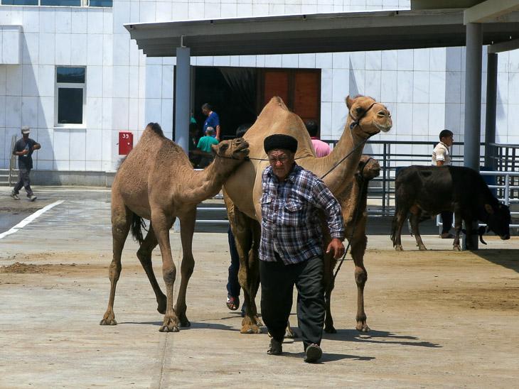 Altyn Asyr Ashgabat Turkmenistan camel market