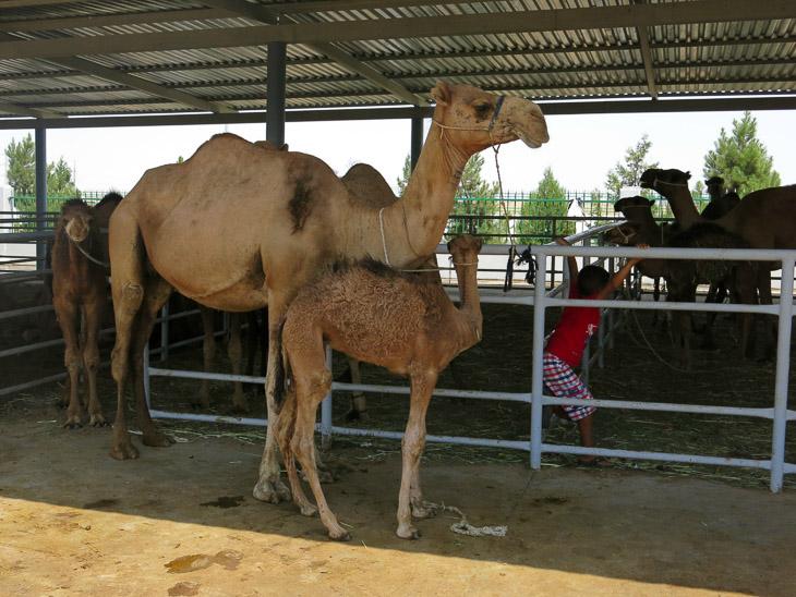 Altyn Asys camel market Ashgabat Turkmenistan