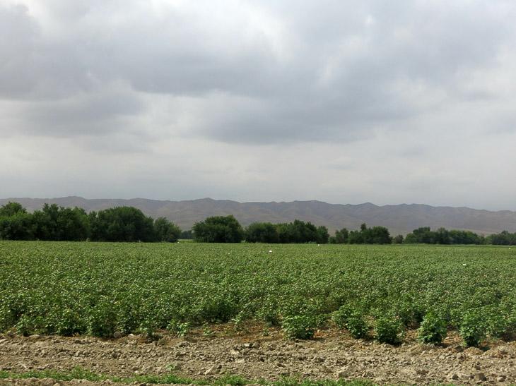 Cotton field Turkmenistan