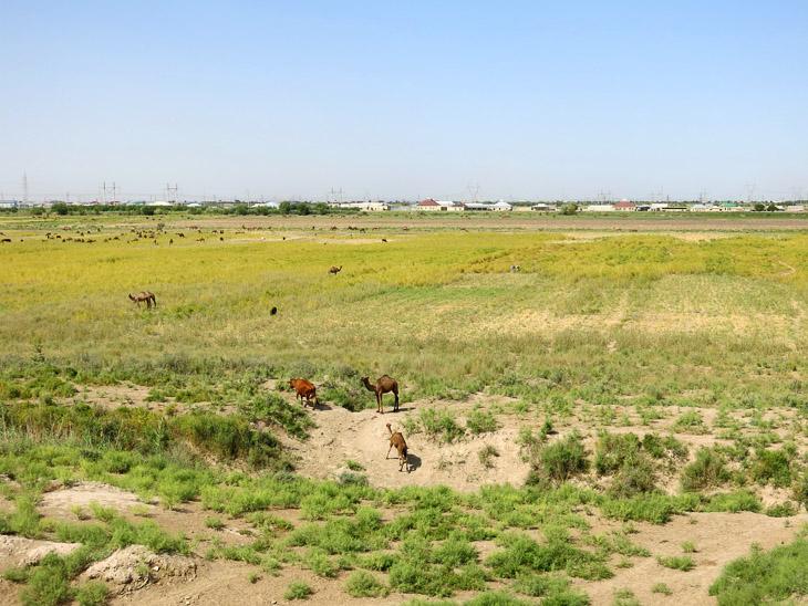 Camels Merw Turkmenistan