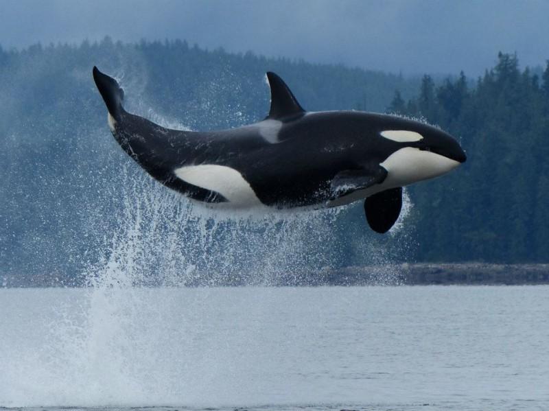 Orca full breach Telegraph Cove Vancouver Island Canada