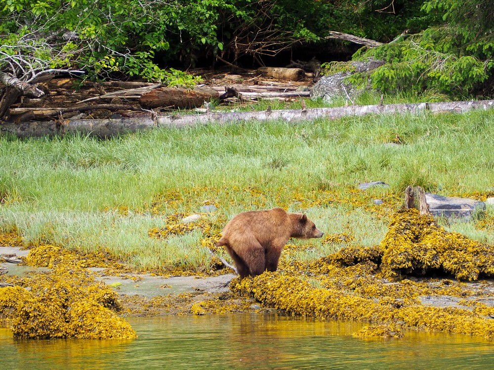 Grizzly Bears Canada Vancouver Island Tide Rip Tours Knight Inlet Glendale Cove