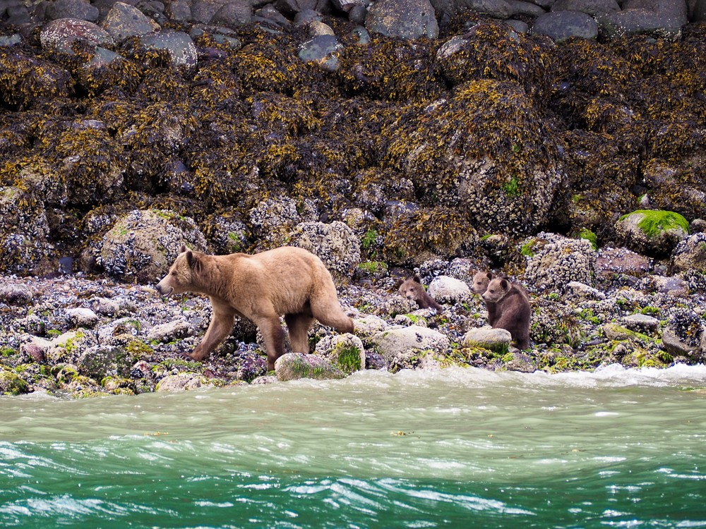 We were lucky enough to meet11 grizzlies including Lenore and her year old cub, ánd Bella - the star of the Disney movie Bears- with her three brand new cubs.