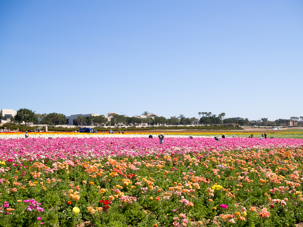 Spring Vibes At The Carlsbad Flower Fields