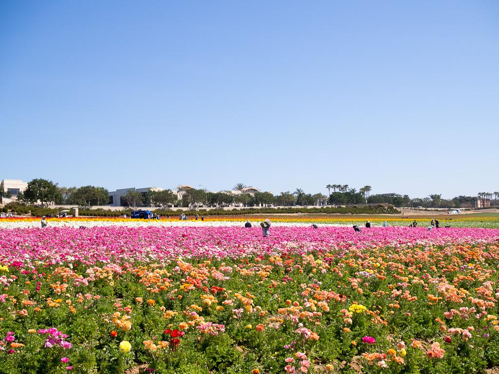Carlsbad Flower Fields San Diego California USA
