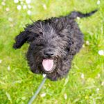 Labradoodle Puppy Family Holland