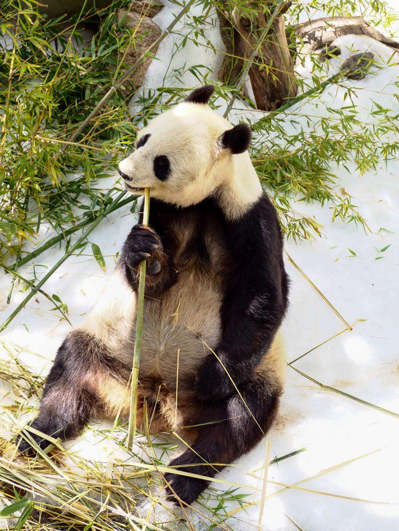 Travel San Diego California USA San Diego Zoo Panda
